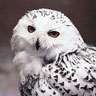 - It's a Snowy Owl, NOT ME