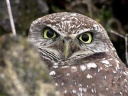 Burrowing Owl - face