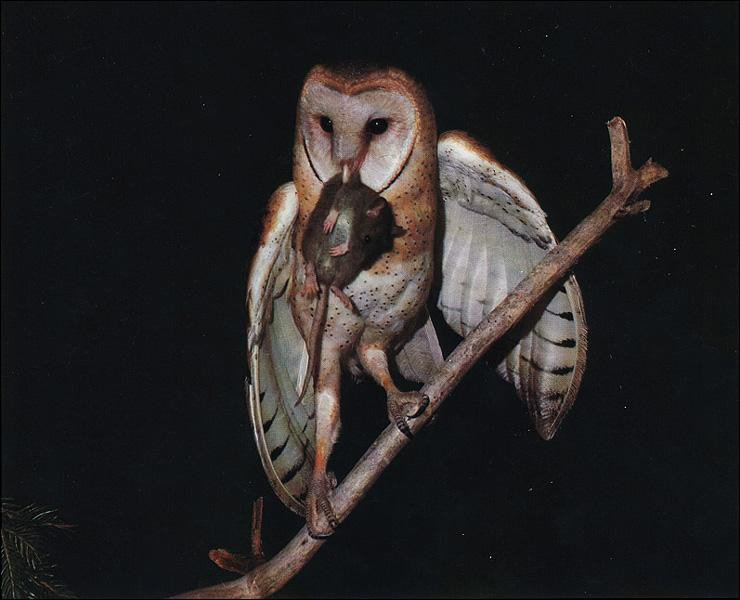 Barn Owl - with a mouse in it's beak