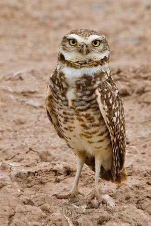 Burrowing Owl - Just look at those legs!