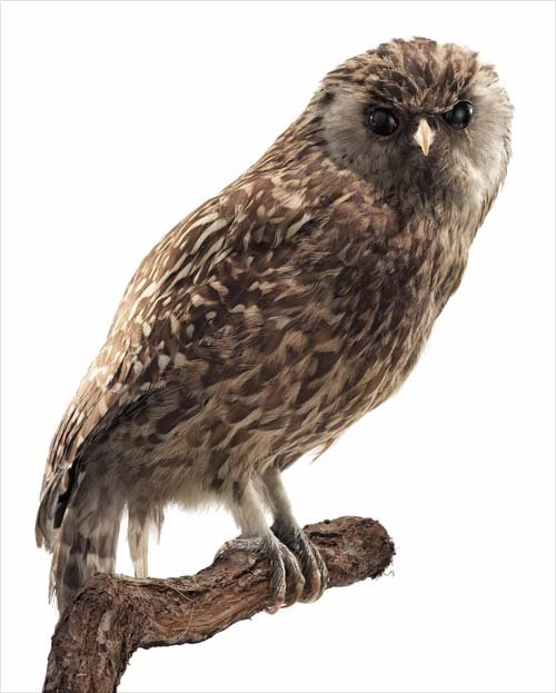 Laughing Owl - Poor extinct owl!