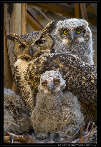 Great Horned - Owl with chicks