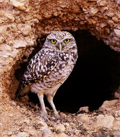 Burrowing Owl - in front of its burrow
