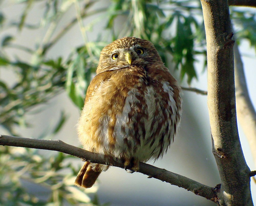Pygmy Owl in a - branch