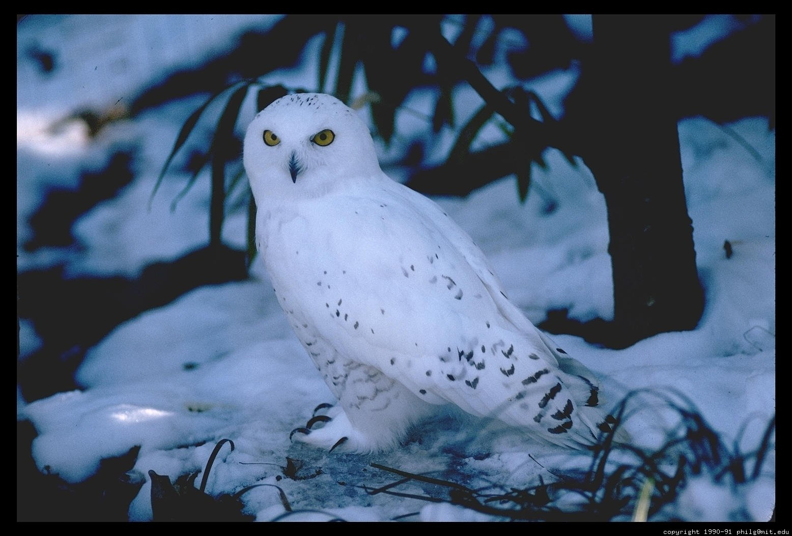 Snowy Owl on  - the ground