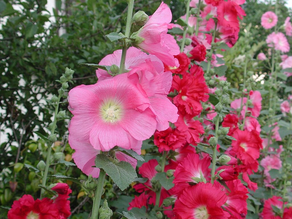 Gallery world of the plants for Alcea rosea