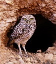 Burrowing Owl - plumage
