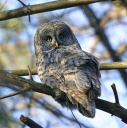 Great Grey Owl - plumage
