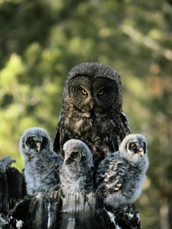 Great Gray Owl - with three chicks